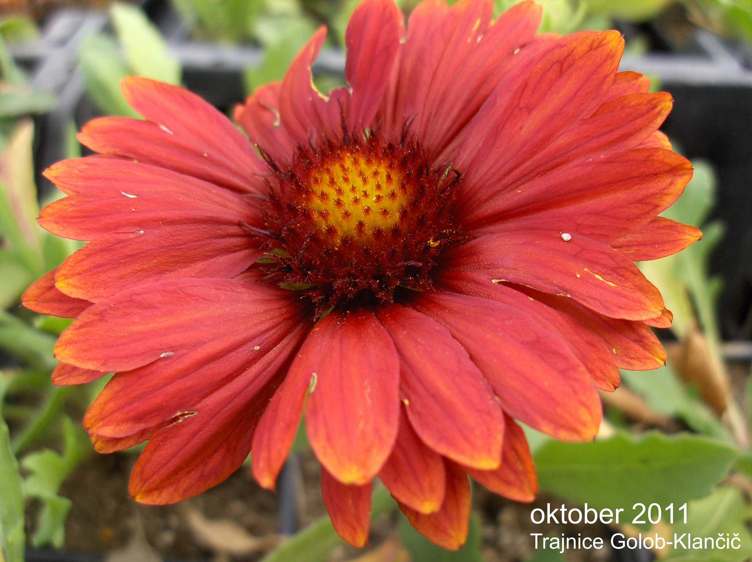 Gaillardia aristata 'Arizona Red'