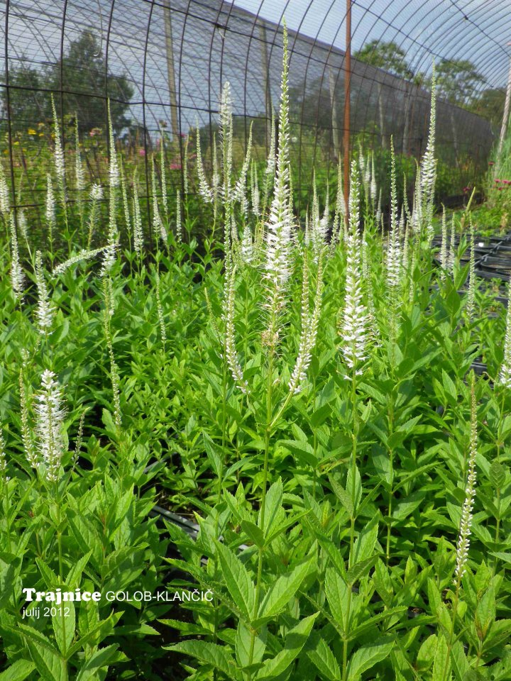 Veronicastrum virginica 'Alba' - virginski veronikastrum