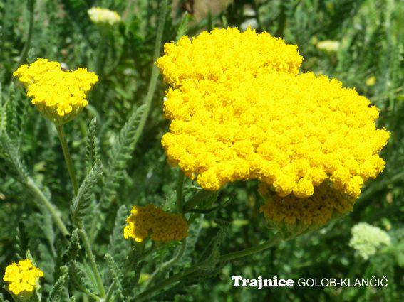 Achillea fillipendulina 'Summer Gold' - rumeni rman
