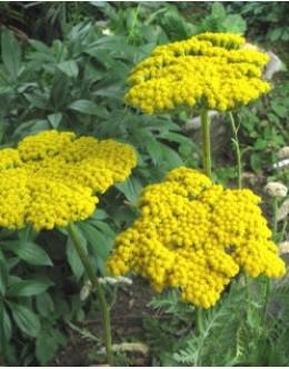 Achillea fillipendulina 'Parker's varietat' - rumeni rman