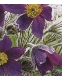 Anemone pulsatilla (Pulsatilla vulgaris) - kosmatinček