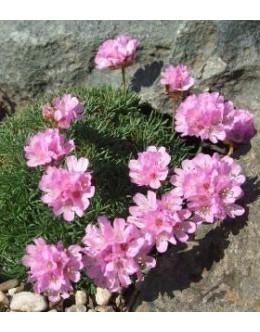 Armeria caespitosa (juniperifolia) - pritlikavi pečnik