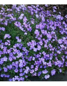 Aubrieta cultorum 'Royal Blue' -modra avbrecija