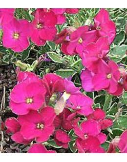 Aubrieta cultorum 'Royal Red' -rdeča avbrecija