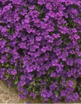 Aubrieta cultorum 'Royal Violet' - vijolična avbrecija