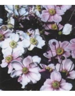 Anemone japonica - jap.vetrnica (mešana), anemona