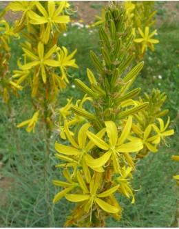 Asphodeline lutea - čepljec