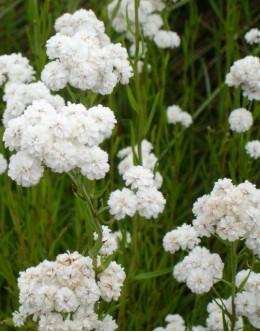 Achillea ptarmica 'Perle' - beli rman
