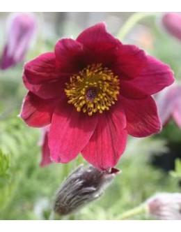 Pulsatilla vulgaris (Anemone pulsatilla) 'Rote Glocke'  – kosmatinček