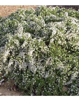 Aster ericoides 'Prostrata' - plazeča resolistna astra
