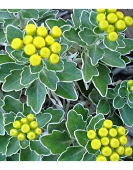 Ajania pacifica - ajanija, srebrno listje