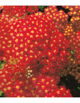 Achillea millefolium 'Paprika' - rdeč rman, v odcvitanju zbledi