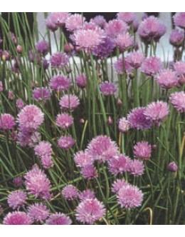 Allium schoenoprasum - drobnjak, zelo medi