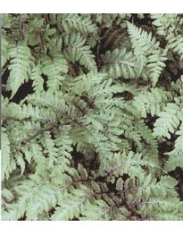 Athyrium niponicum 'Metalicum' - pisani list