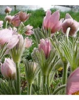 Pulsatilla vulgaris (Anemone pulsatilla) 'Pink Shades' - roza kosmatinček