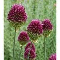 Allium sphaerocephalon - oblasti luk