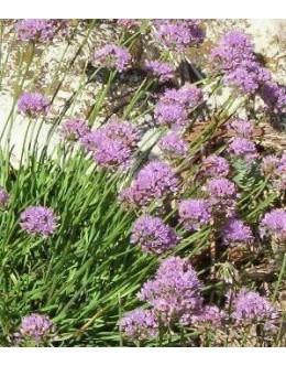 Allium montanum (senescens) - gorski luk