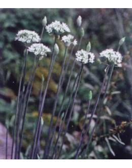Allium tuberosum - česnov (kitajski) drobnjak, kitajski česen, zelo medi