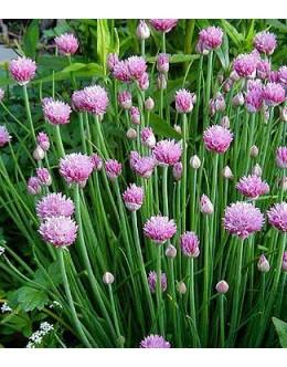 Allium schoenoprasum 'Forescate' - roza-rdeče cvetoči drobnjak