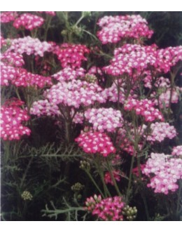 Achillea millefolium 'Smiling Queen' - rožnat rman