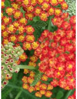 Achillea hy. 'Feuerland' - oranžnordeč velikocvetni rman