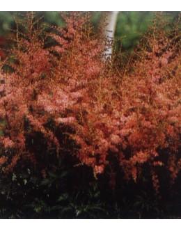 Astilbe simplicifolia - kresnica, svetleči listi