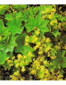 Alchemilla xantochlora (vulgaris) - navadna plahtica