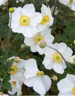 Anemone japonica 'Honorine Jobert' - bela enostavna, bogato cvetoča