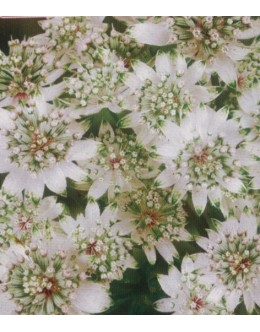 Astrantia major 'Star of Billion' - zelo dolgo cvetoči zali kobulček (ne polži)