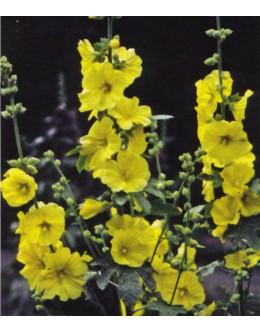 Alcea (Althaea) rugosa - rumeni slez