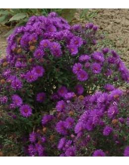Aster novae-angliae 'Purple Dome' - purpurno-modra srhkolistna astra