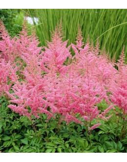 Astilbe arendsii 'Cattleya' - temno rožnata visoka astilba, kresnica