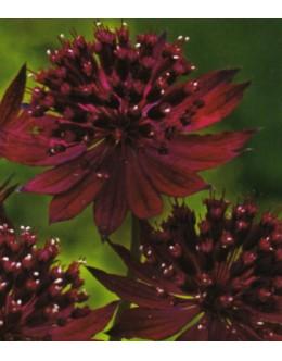 Astrantia major 'Venice' - rdeči zali kobulček (je ne marajo polži)