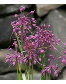 Allium carinatum - gredljasti luk