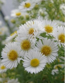 Aster novae-angliae 'Herbstschnee' - visoka velikocvetna srhkolistna astra