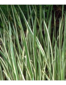 Acorus calamus  'Variegata' - pisanolistni kolmež