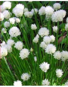 Allium schoenoprasum 'Album' - belo cvetoči drobnjak