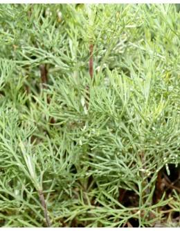 Artemisia abrotanus - abrašica