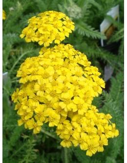 Achillea millefolium 'Desert Eve Yellow' - nizki rman