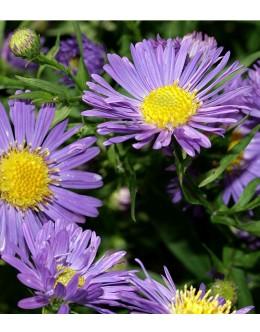 Aster novi-belgii 'Schoene von Dietlicon' - za rez, srednji cvet, gololistna astra