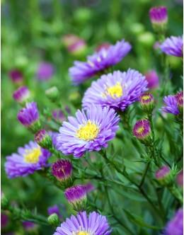 Aster novi-belgii 'True Blue' - za rez, velik moder cvet, gololistna astra