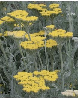 Achillea clypeolata - rman, srebrno aromatično listje (odganja polže)