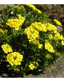 Alyssum wulfenianum -vulfenov grobeljnik, pocvita