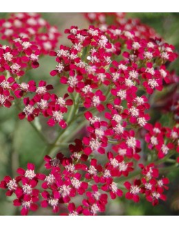 Achillea millefolium 'Cassis' - češnjevo rdeč rman, bogato cveti