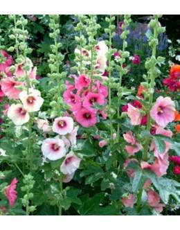 Alcea (Althaea) rosea-hy. 'Simplex' - rožlin trajni enostavni cvet