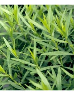 Artemisia dracunculus 'Sibirica' - sibirski pehtran