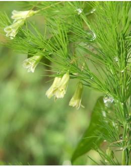 Asparagus tenuifolius - lasasti beluš