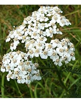 Achillea millefolium - navadni rman