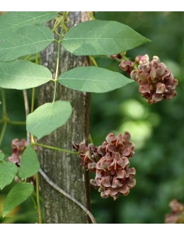 Apios americana (tuberosa) - indijski krompir ali fižol, gomoljna plezalka
