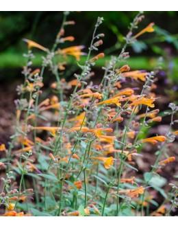 Agastache aurantiaca 'Tango' - kompakten oranžni ožep (zimska zaščita)